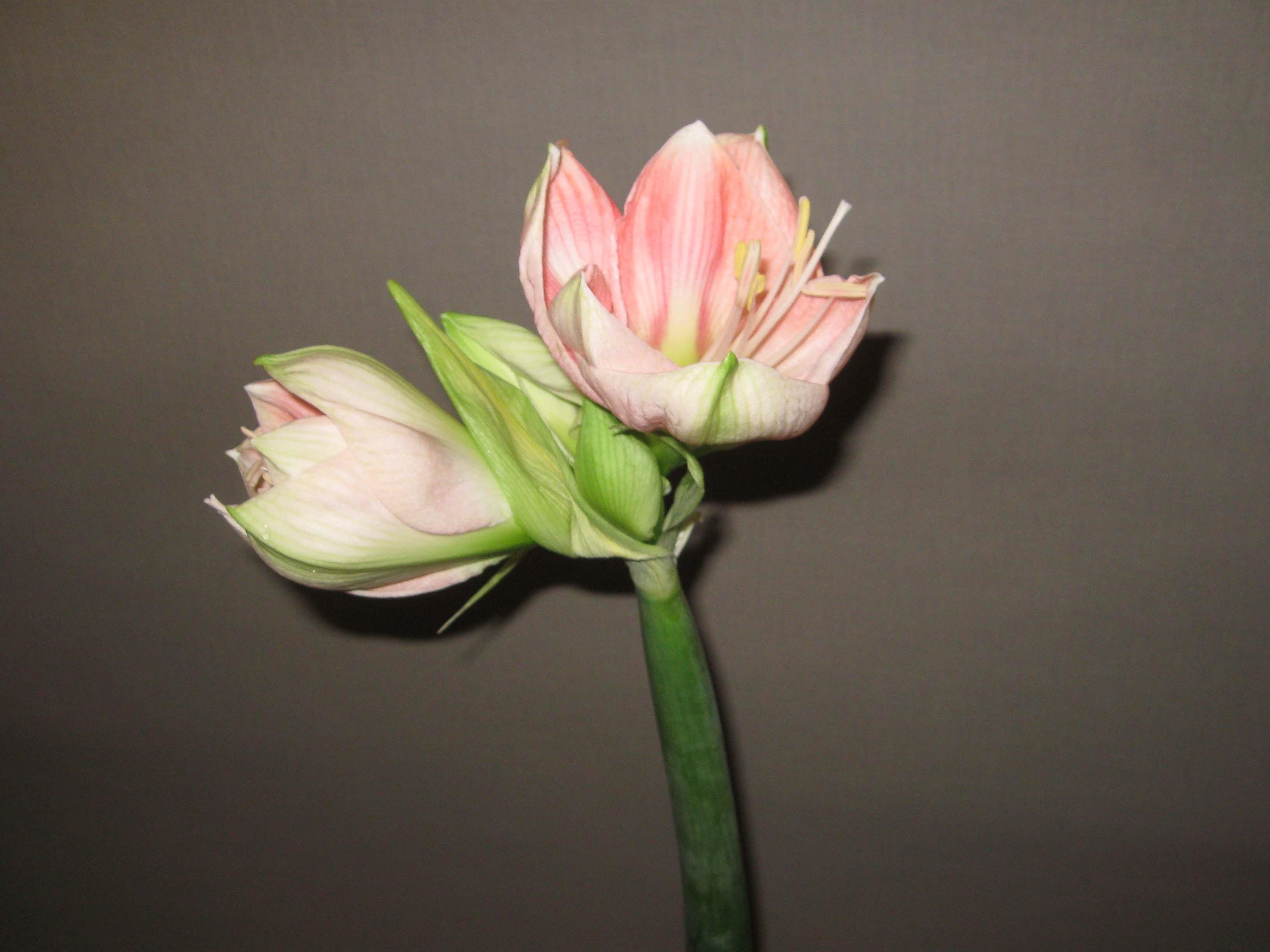 Che significato ha il fiore amarillys - Gli esperti vi consigliano quando regalare l'amaryllis. Fiori a Milano vicinanza corso Indipendenza