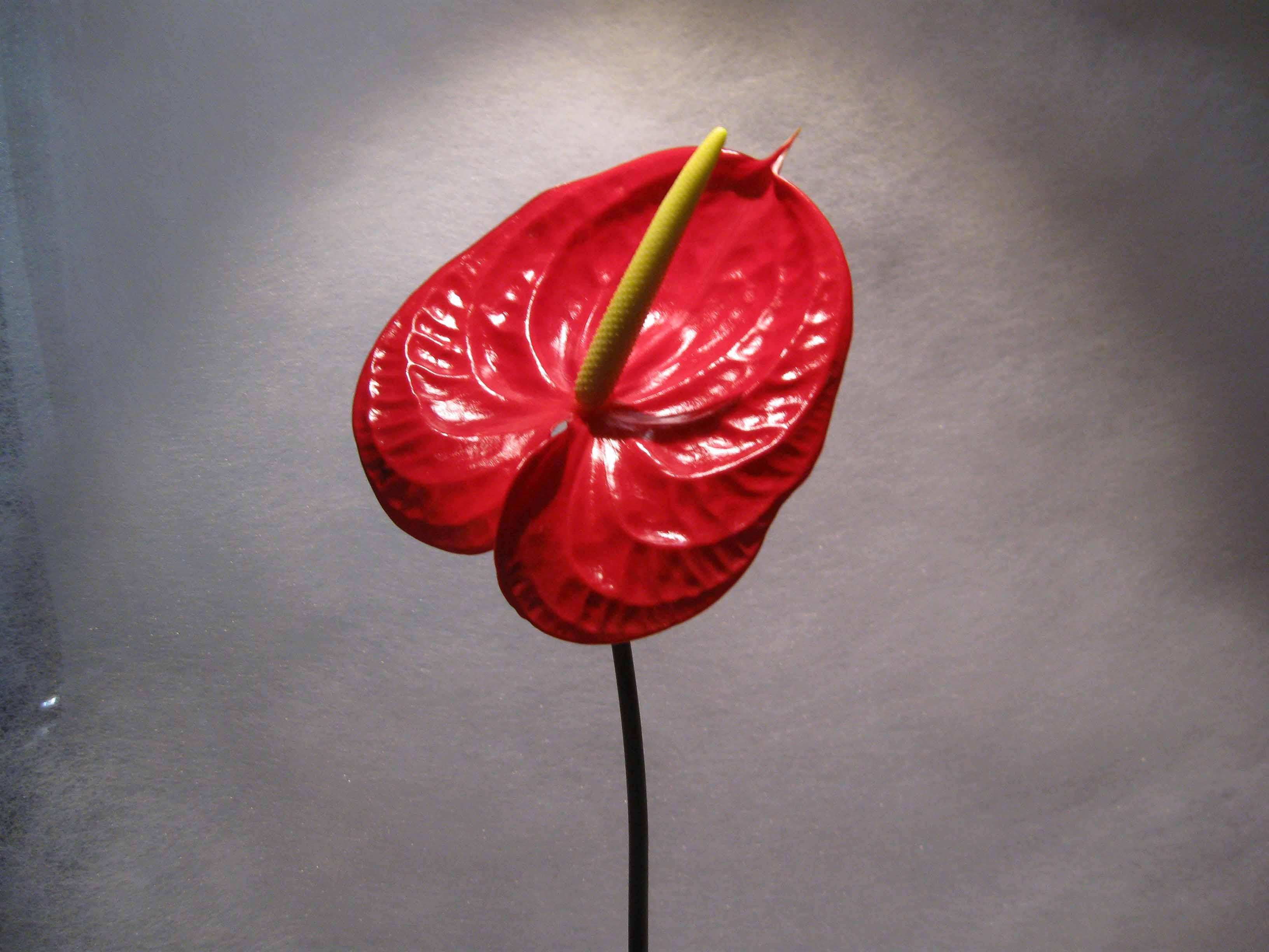 Quale è il significato dell'anthurium - quale è il fiore chiamato tavola del pittore - Come curare la pianta di anthurium in appartamento a Fioraio a Milano Piazza del Tricolore