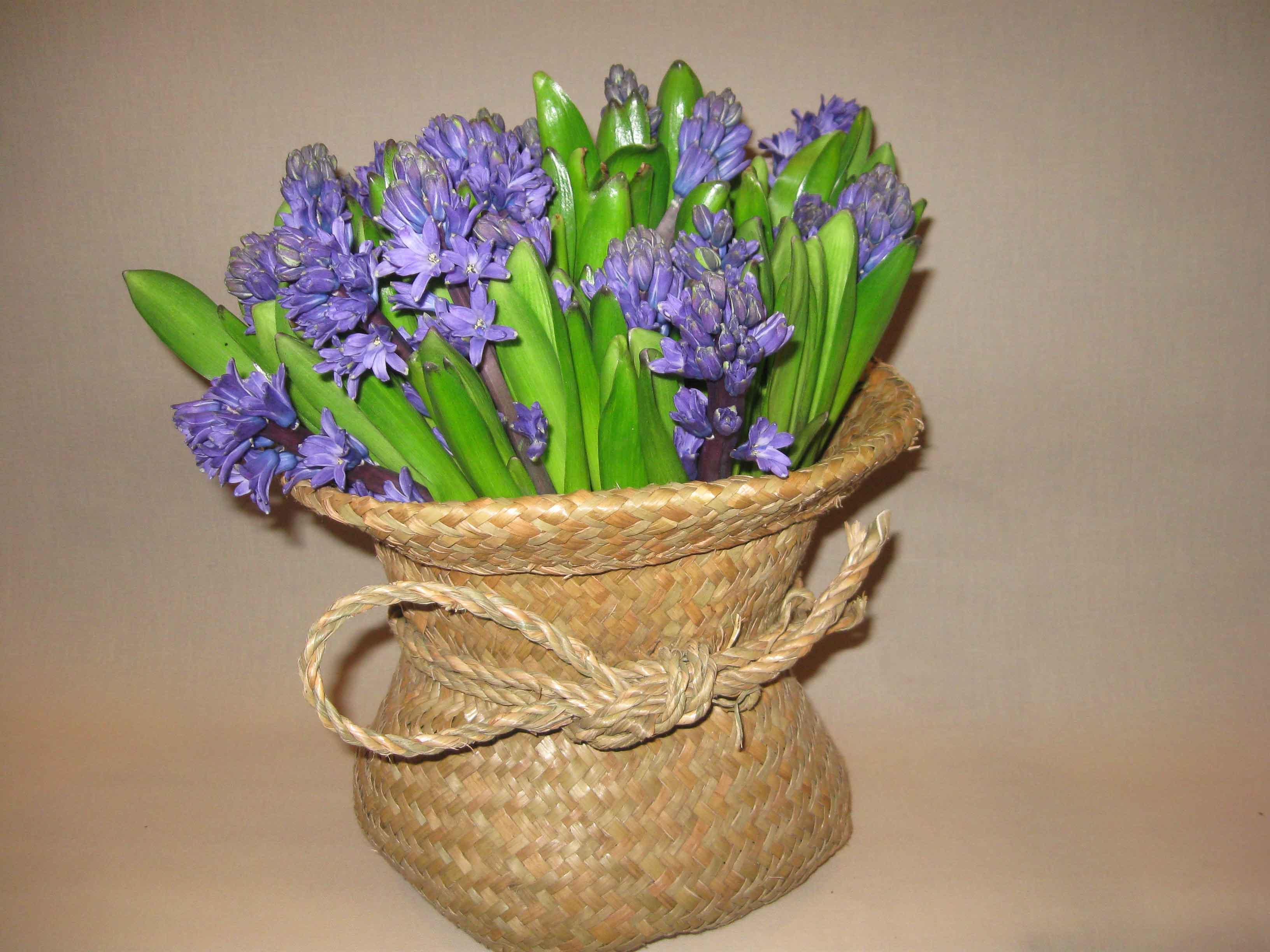 Giacinto significato - come curare i fiori di giacinto - I bulbi del giacinto - I colori del giacinto - Fioristi a milano centro