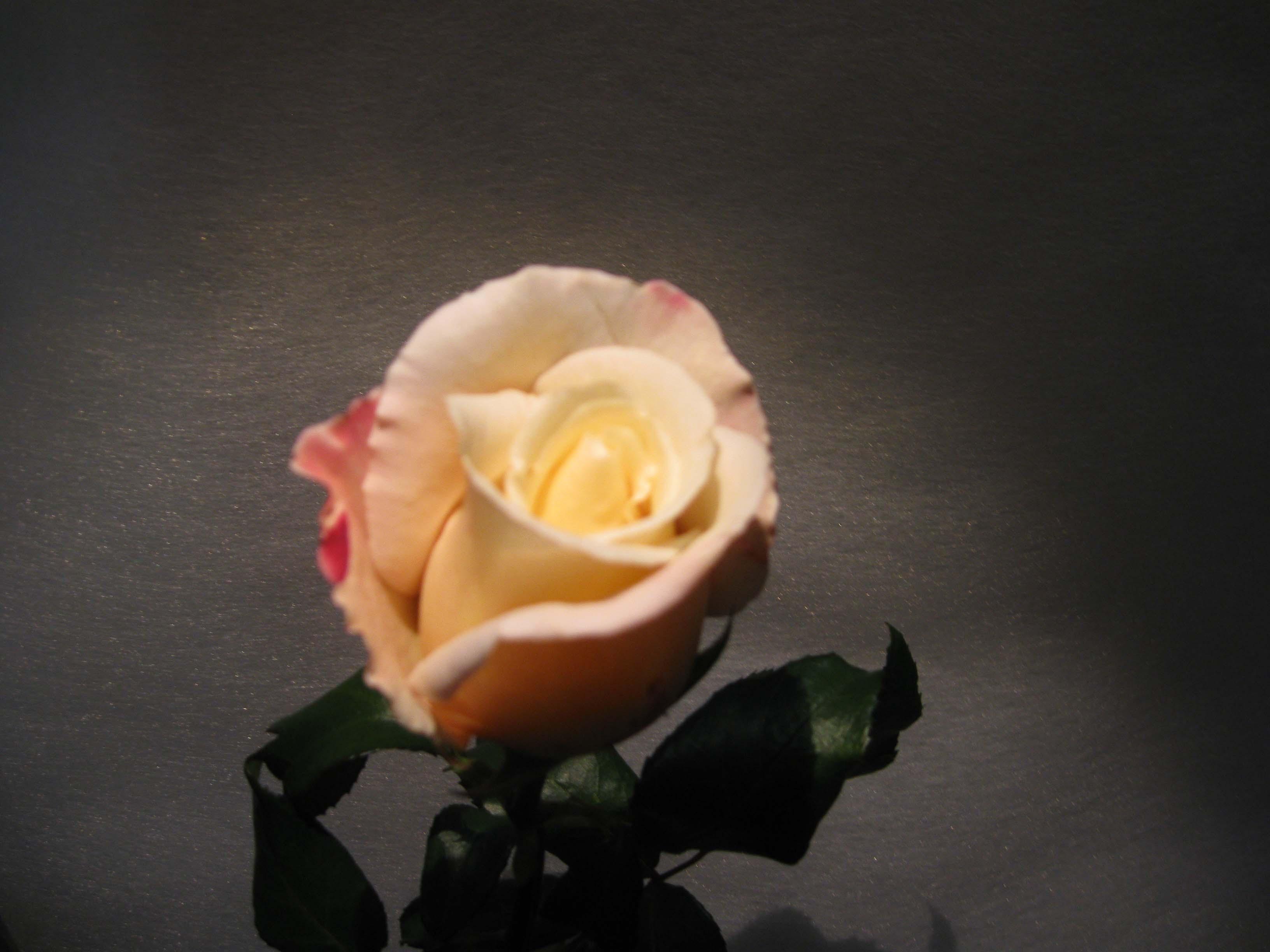 Rosa è Un Fiore Che Si Regalano In Ogni Occasione Milano
